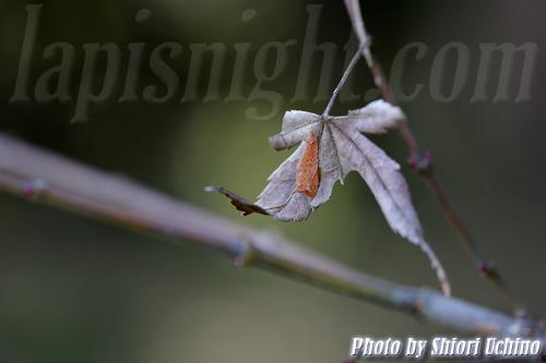ミスジチョウ -三条蝶-