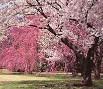 二条城二の丸庭園櫻