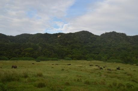 15八重山はどこ行っても牛がいる