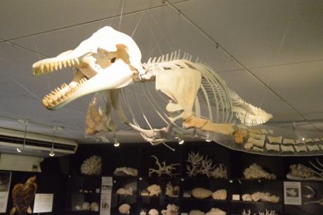 12骨格標本も