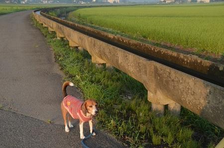 20150726印西朝散歩10