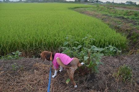 20150811印西朝散歩05