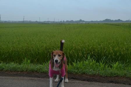 20150811印西朝散歩18