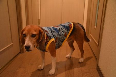 20150512犬服12着目15