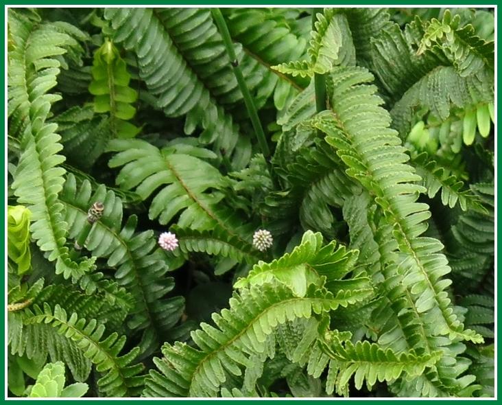 シダ 2014 12 14 061b 観葉植物 2