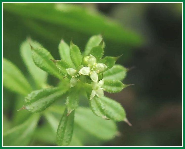 ヤエムグラ 花 1 2014 4 22  小さい花