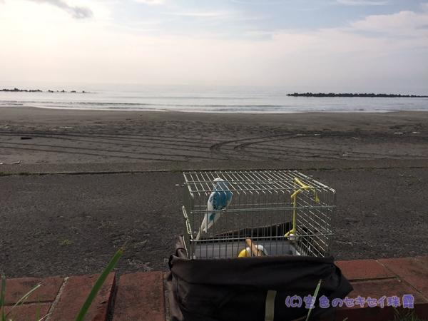 室蘭イタンキ浜で波音を聞く珠霞    空色のセキセイ珠霞