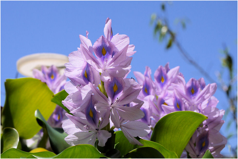 ホテイアオイの花