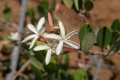 Landolphia_capensis00[1]