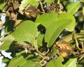 Lagunaria_patersonia-fruit_foliage-CROPPED[1]