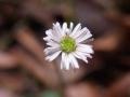 Flower_Sheldon_Forest_Sydney_Australia_possibly_Lagenophora_gracilis[1]