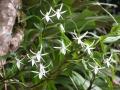 jumellea-fragrans-visoflora-4324[1]