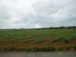 4月のサトウキビ畑