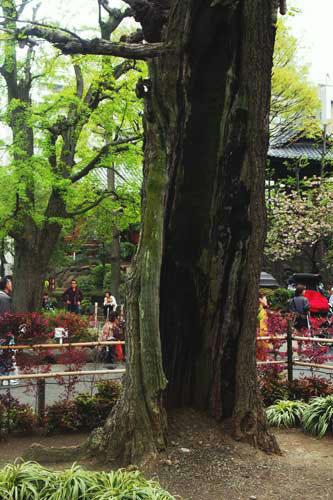 浅草寺境内のイチョウの木2
