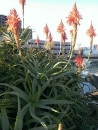 アロエの花