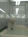 子犬プードル2