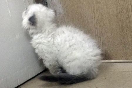 MIX(セルカークMIX)の子猫