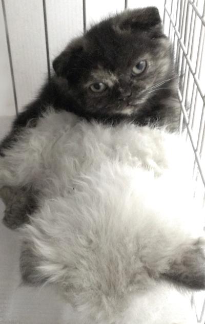 スコティシュフォールドの子猫