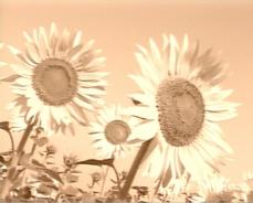 夏の日の向日葵