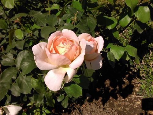 versailles rose