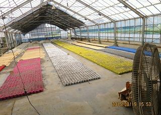 苗作り・1