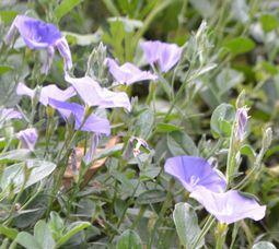 003青い花