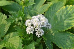 026白い花