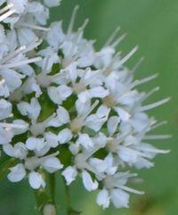 026白い花2
