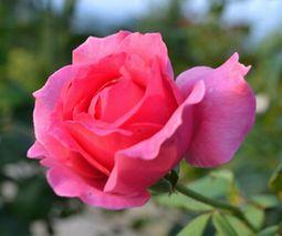 008薔薇