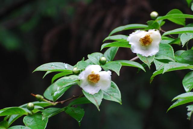 ナツツバキの花は