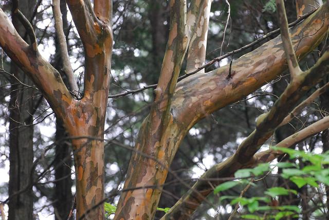 ナツツバキの木肌が美しい
