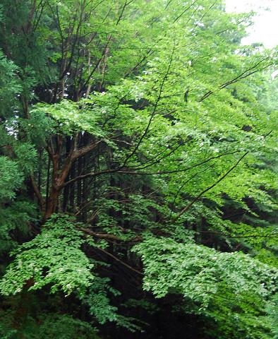 ナツツバキの樹木
