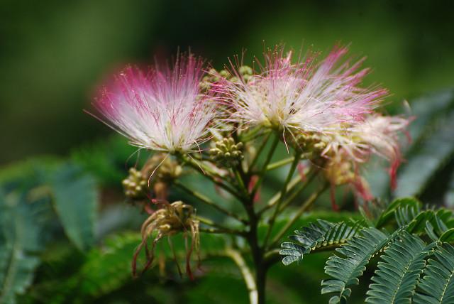 ネムノキの花が鮮やか