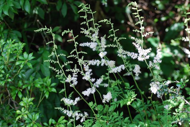 チダケサシの白い花