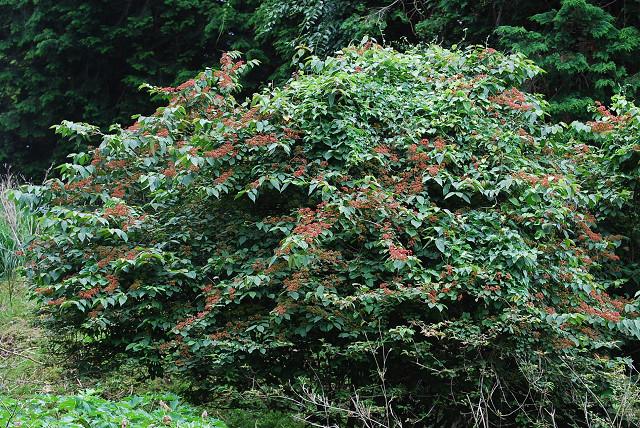 ヤブデマリ木が赤くなった