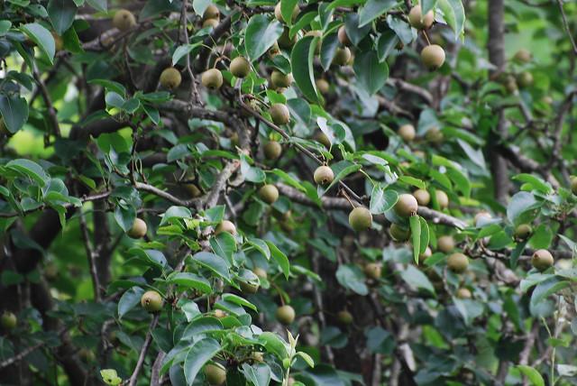 ヤマナシに実がいっぱい