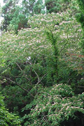 ネムノキの巨木が