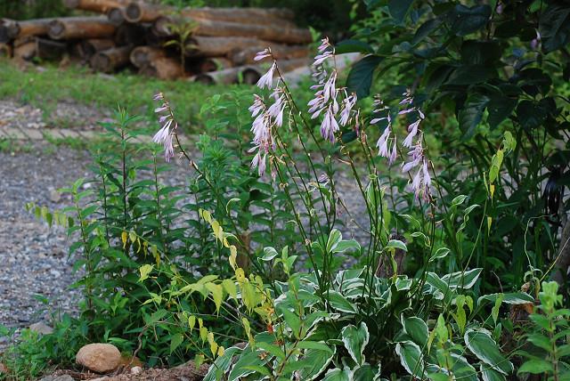 コバノギボウシの花は