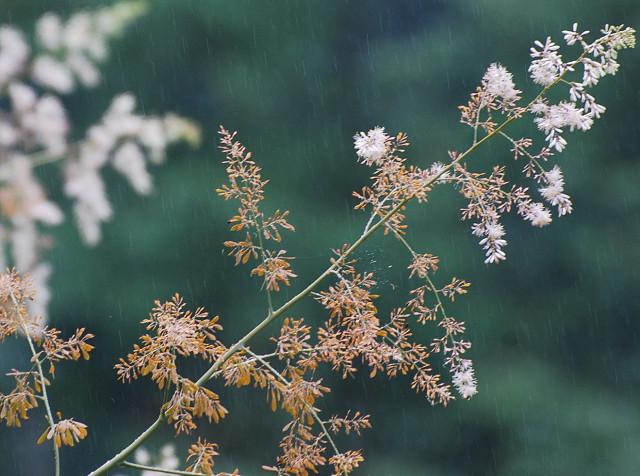 タケニグサの花がきれい