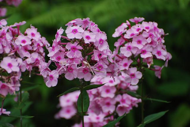 このピンクの花は何か?