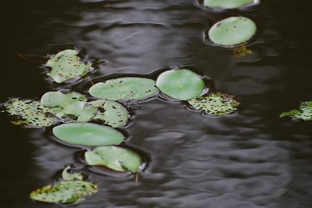池にジュンサイの葉