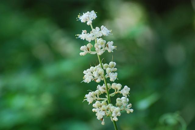 ヤブミョウガの花がきれい