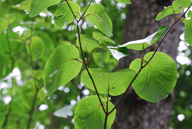 ムシカリの丸い葉