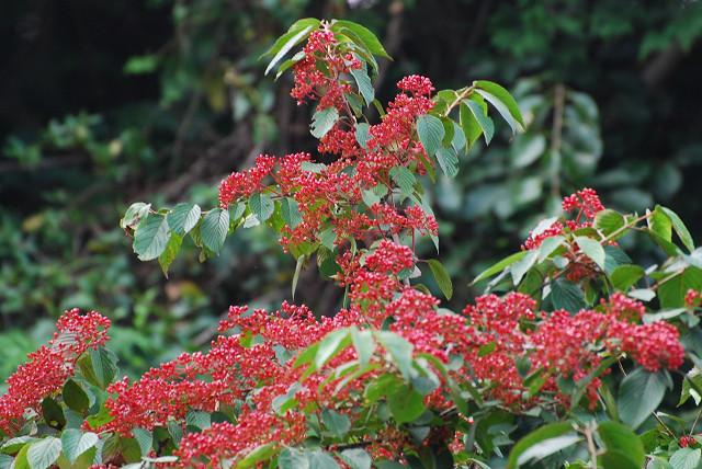 ヤブデマリの赤い実が美しい