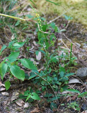 アキノキリンソウが咲いていた