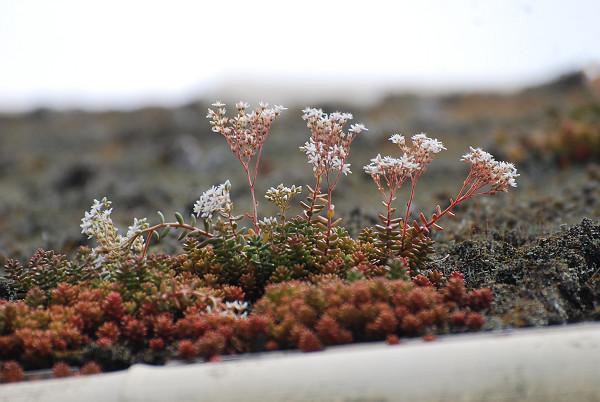 屋根に花が?