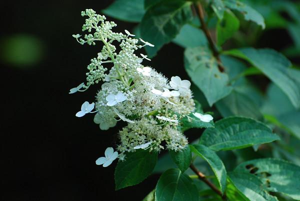 ノリウツギの開花