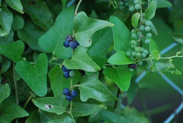 アオツブラフジの実が青黒い