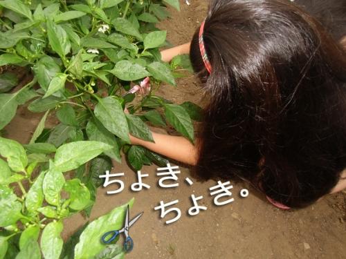 2015野菜収穫①