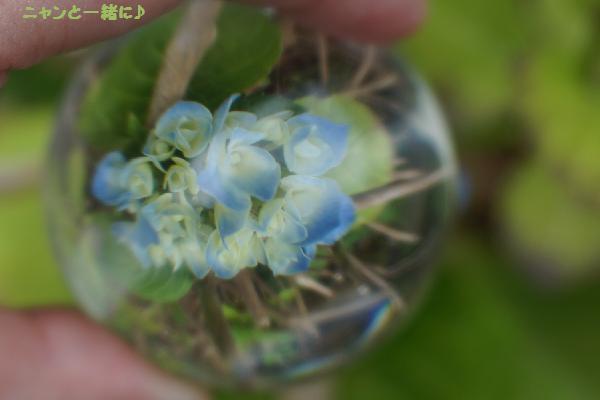 家紫陽花729